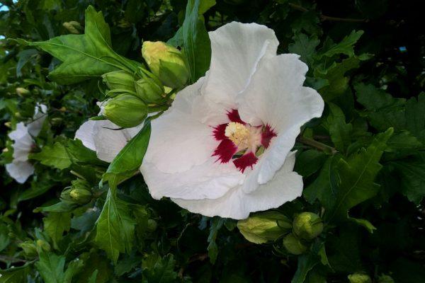 Гибискус белый - семена hibiscus-syriacus-seeds 160817 www.florapassionis.com