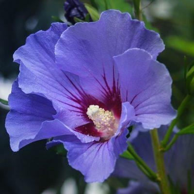 Гибискус сиреневый - семена Hibiscus