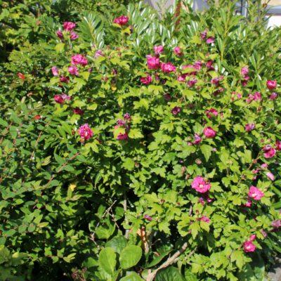 Гибискус сирийский, Гибискус садовый древовидный, Hibiscus Syriacus 22aug17 my garden www.florapassionis.com