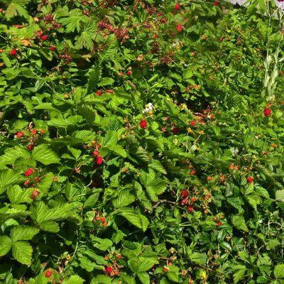 Земляника лесная Fragaria vesca min have 250617 www.florapassionis.com