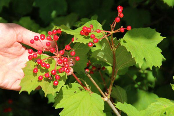 Калина красная - семена Viburnum opulus seeds 050818 jelshøj www.florapassionis.com