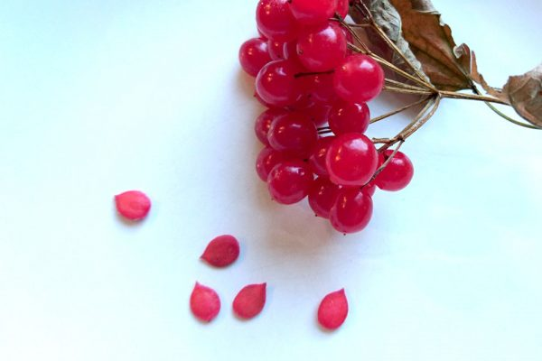 Калина красная - семена Viburnum opulus seeds 71117 www.florapassionis.com