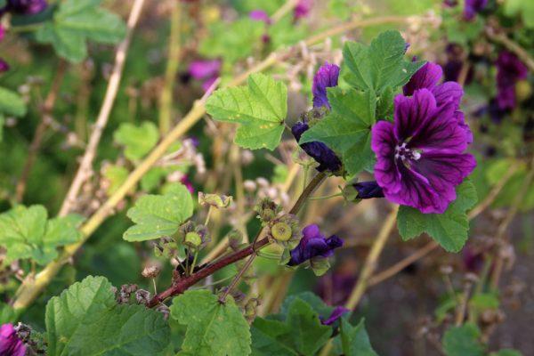 Мальва лесная Мавритания - семена Malva sylvestris Mauritiana 131018gles www.florapassionis.com