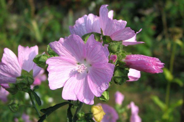 Мальва мускусная семена Malva moschata 27aug13 www.florapassionis.com