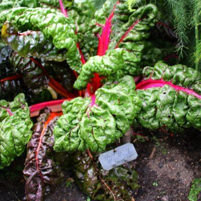 Мангольд - mangold dgb 30aug17 www.florapassionis.com