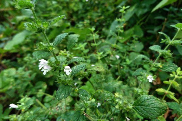 Мелисса лекарственная семена melissa-officinalis 120818 www.florapassionis.com
