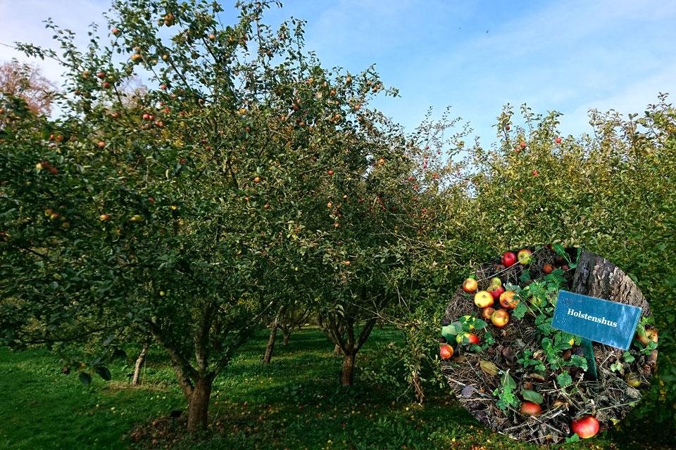 Яблоневый сад с большой коллекцией старых сортов яблок
