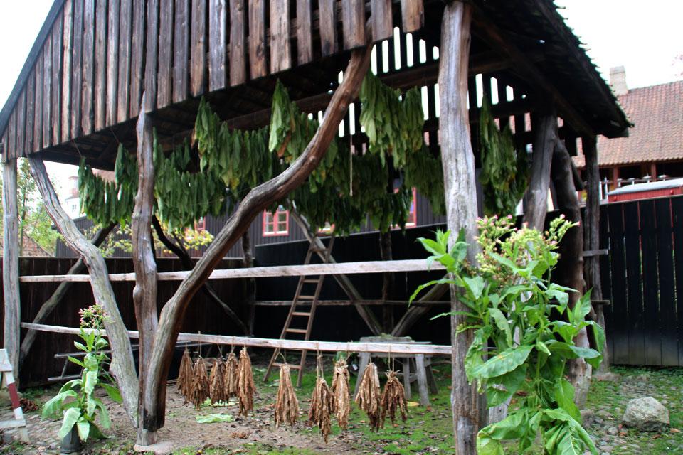 Листья табака высушиваются в специальном табачном сарае.