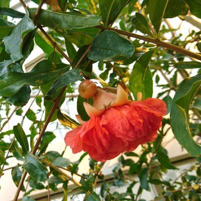 Гранат обыкновенный Punica granatum 180818 bothaa www.florapassionis.com