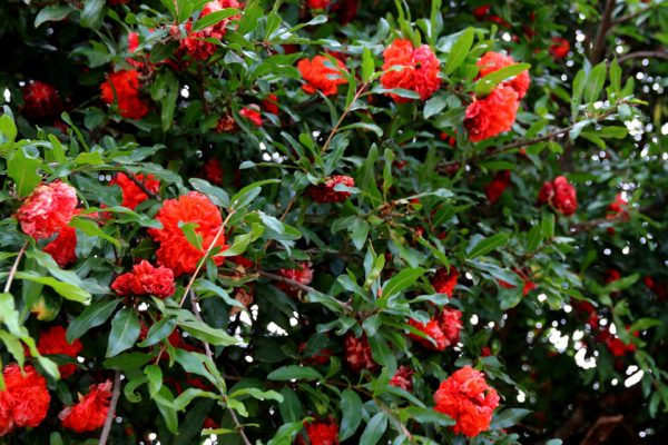 Гранат обыкновенный Punica granatum rom jun2018 www.florapassionis.com