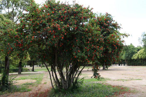 Гранат обыкновенный Punica granatum rom juni 2018 www.florapassionis.com