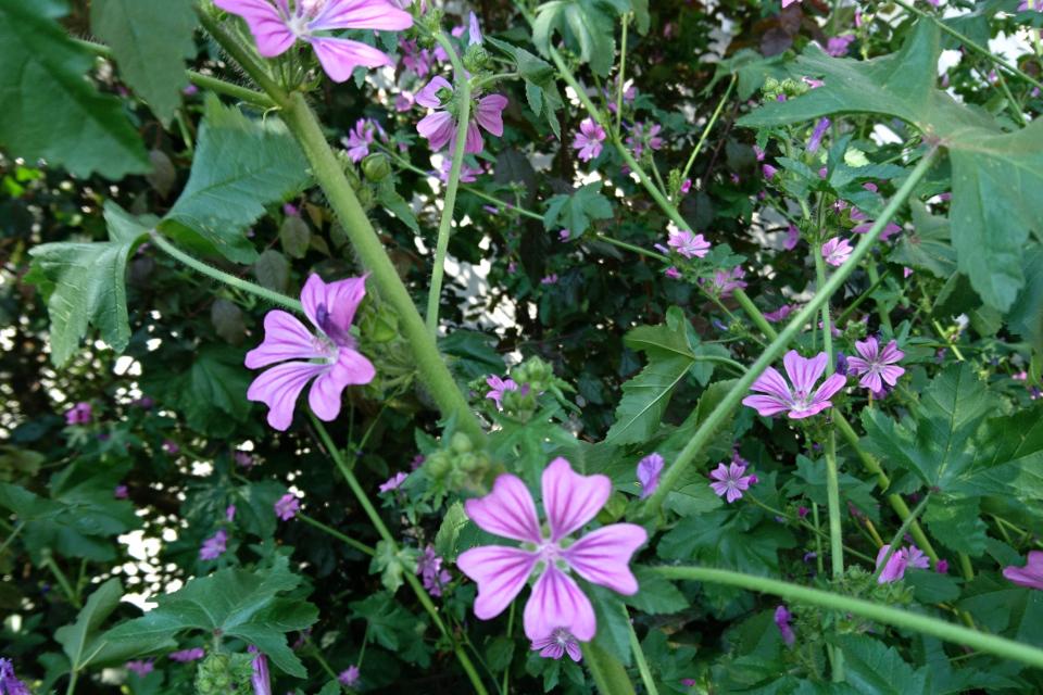 Цветы дикой мальвы (Malva sylvestris)