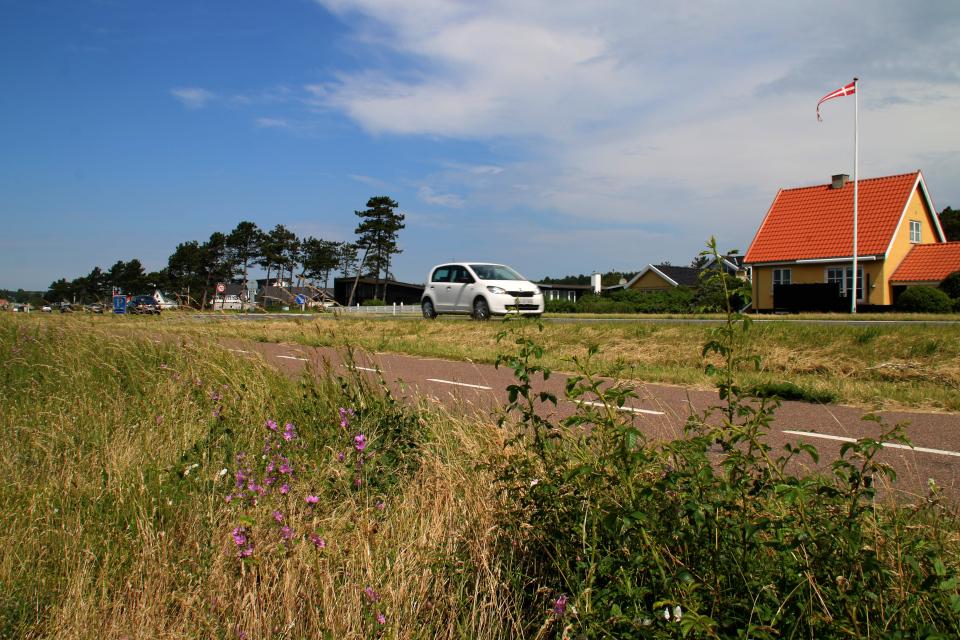 Дикая мальва растет возле дороги на побережье г. Эбельтофт / Ebeltoft, Дания