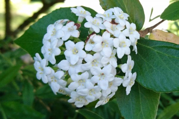 Калина тинус, калина лавролистная, Viburnum tinus 20maj18 Viby www.florapassionis.com
