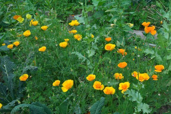 Калифорнийский мак, или Эшшольция калифорнийская Eschscholzia californica 22jul17 my garden www.florapassionis.com