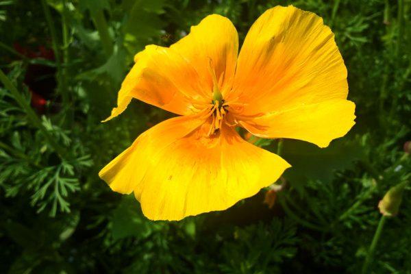 Калифорнийский мак - семена, Эшшольция калифорнийская Eschscholzia californica 120717 www.florapassionis.com