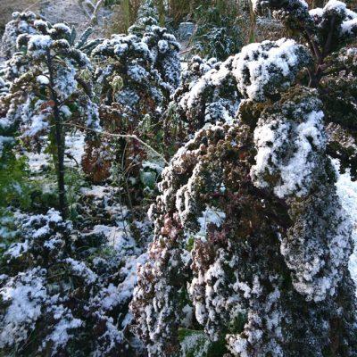 Капуста Кале красная 230917 www.florapassionis.com 41117 www.florapassionis.com