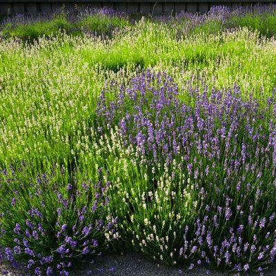 Лаванда узколистная белая Lavandula angustifolia 150614 www.florapassionis.com