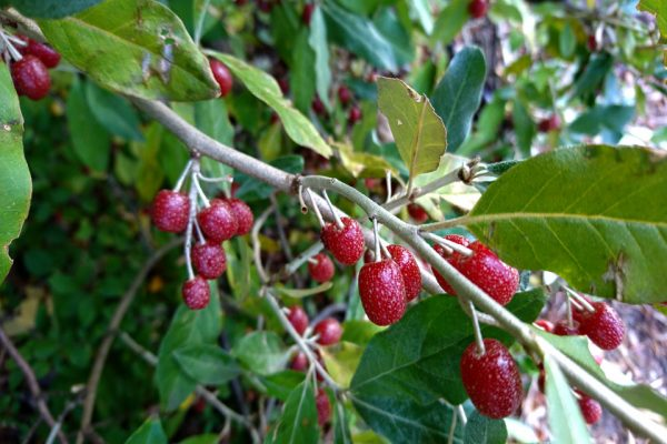 Лох Elaeagnus 7okt18 aarhus denmark www.florapassionis.com