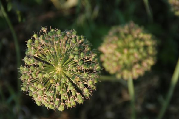 Лук гигантский Лук исполинский семена Allium giganteum 280518 my garden www.florapassionis.com