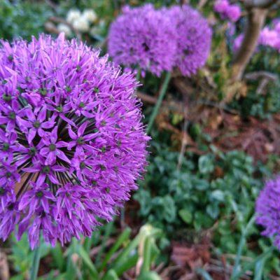 Лук гигантский или Лук исполинский Allium giganteum 20may18 my garden www.florapassionios.com