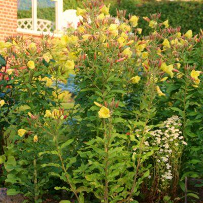 Ослинник двулетний Энотера Oenothera biennis 180717 viby www.florapassionis.com