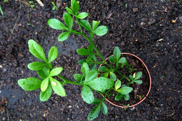 Понцирус трeхлисточковый Citrus trifoliata купить 30okt18 www.florapassionis.com