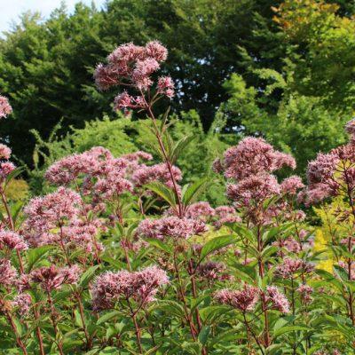 Посконникконоплевидный Eupatorium cannabinum 22aug18 dringaa www.florapassionis.com