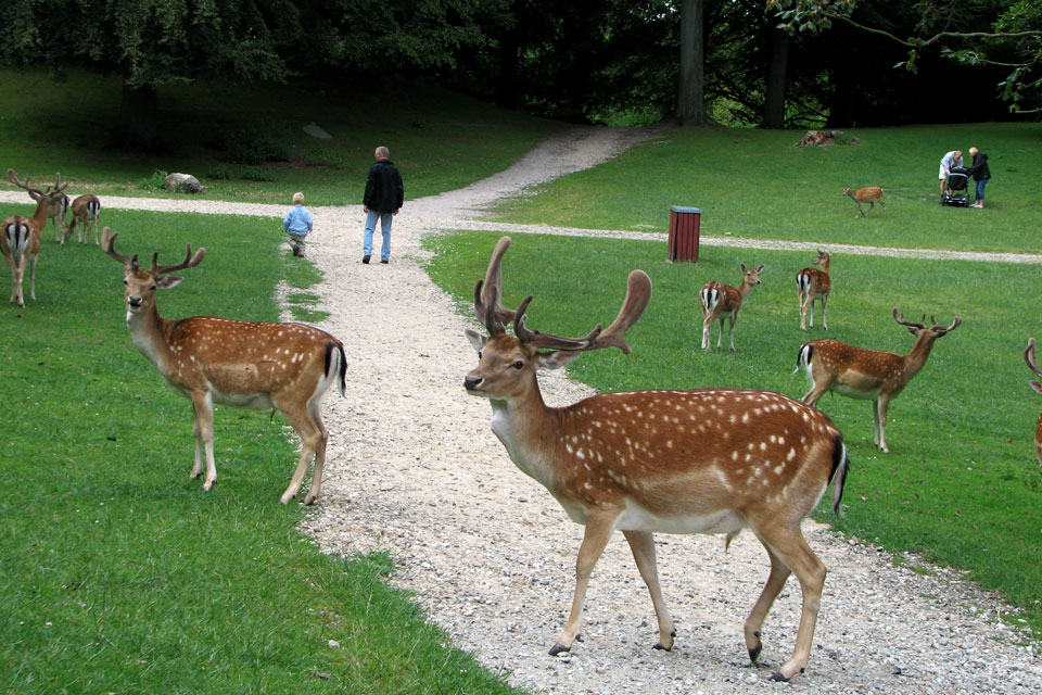 Пятнистые олени (Cervus nippon) гуляют мирно отдыхают в парке, г. Орхус / Aarhus, Дания