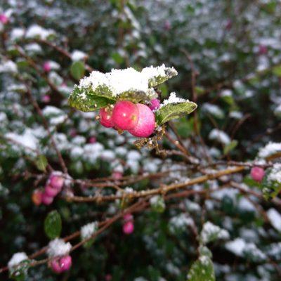 Снежноягодник Хенаульта Хэнкок Symphoricarpos chenaultii Hancock 111217 www.florapassionis.com
