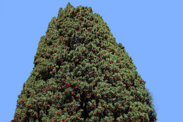Тис ягодный Фастигиата Taxus baccata Fastigiata 151018 viby www.florapassionis.com