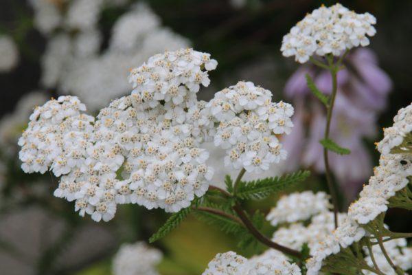 Тысячелистник обыкновенный Achillea millefolium 210717 aarhus www.florapassionis.com