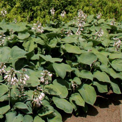Хоста большая Hosta large 220618 dringmars www.florapassionis.com