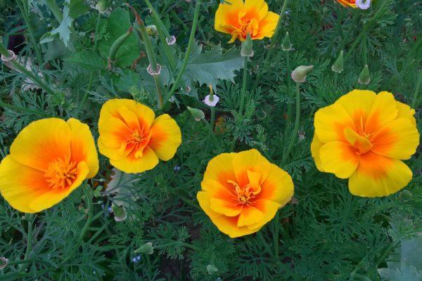 Эшшольция калифорнийская, или калифорнийский мак Eschscholzia californica 200717 my garden www.florapassionis.com