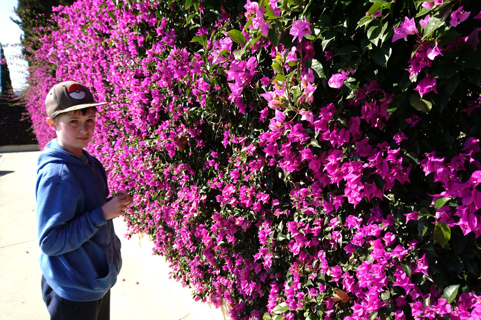 Ограда из цветущей бугенвиллии (Bougainvillea spectabilis)