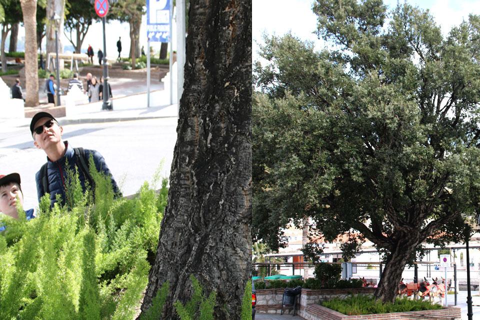 Дуб пробковый (Quercus suber)