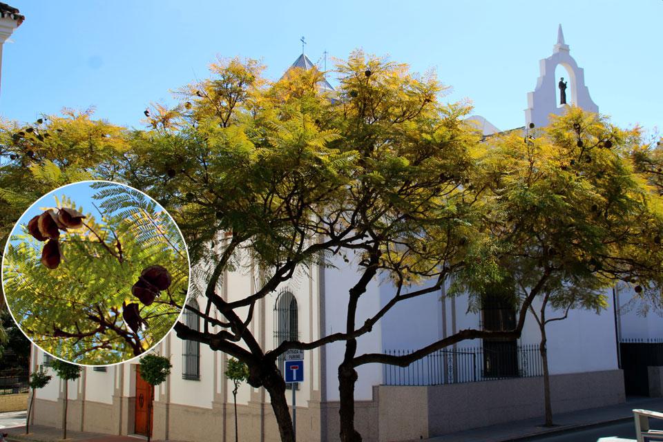 Жакаранда мимозолистная (Jacaranda mimosifolia) с плодами