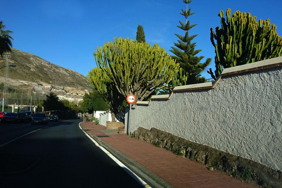 Канделябровое дерево (Euphorbia candelabrum)