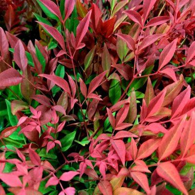 Нандина Nandina domestica 090918 dk www.florapassionis.com