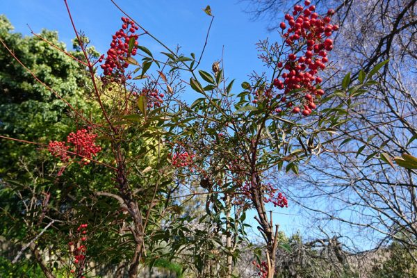Нандина Nandina domestica 17feb18 botanical garden malaga www.florapassionis.com