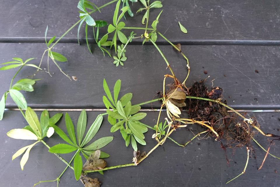 Подмаренник душистый имеет тонкие корни и стебли
