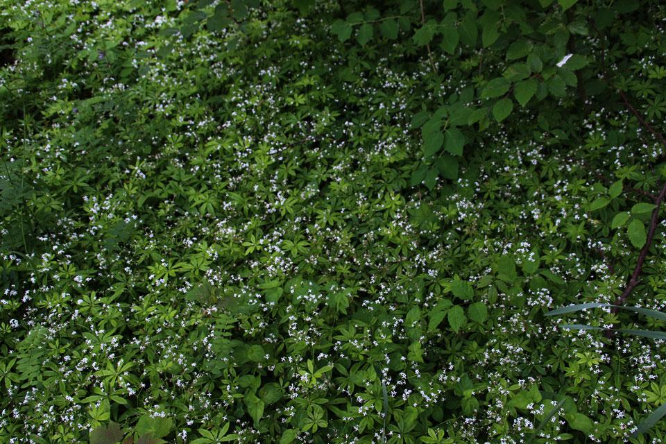 Подмаренник душистый в лесу, Орхус / Aarhus, Дания
