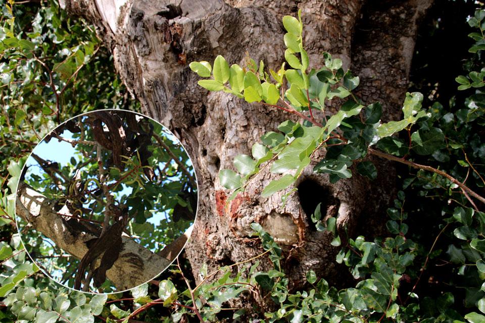 Старое рожковое дерево (Ceratonia siliqua) со спелыми плодами