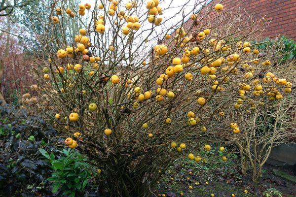 Айва японская, или Хеномелес японский Chaenomeles japonica 15dec17 højbjerg www.florapassionis.com