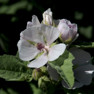 Алтей лекарственный Althaea officinalis 8jul18 dgb www.florapassionis.com