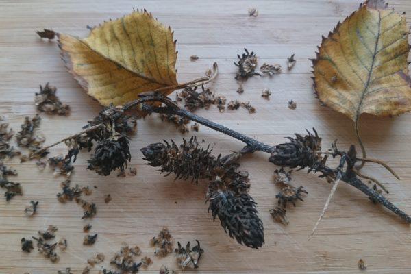 Береза гималайская Жакмонти или Береза полезная Жакмонти Betula utilis var. jacquemontii 071117 www.florapassionis.com