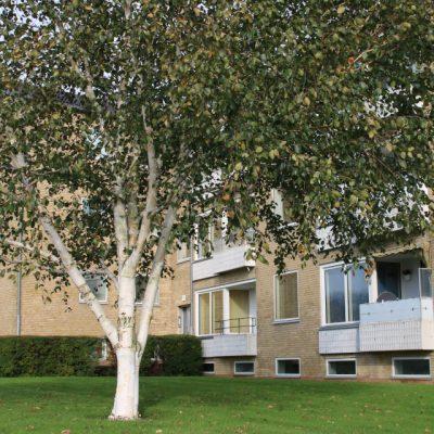 Береза гималайская Жакмонти или Береза полезная Жакмонти Betula utilis var. jacquemontii 211017 viby www.florapassionis.com
