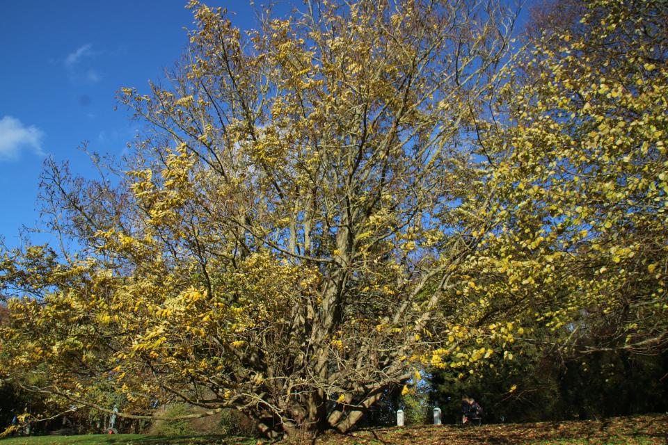 Роскошное дерево Птерокария (Pterocarya fraxinifolia), редкое растение из Кавказа