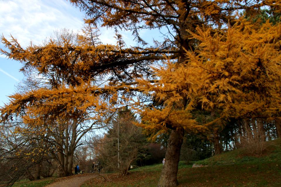 Ботанический сад г. Орхус, Дания, лиственница