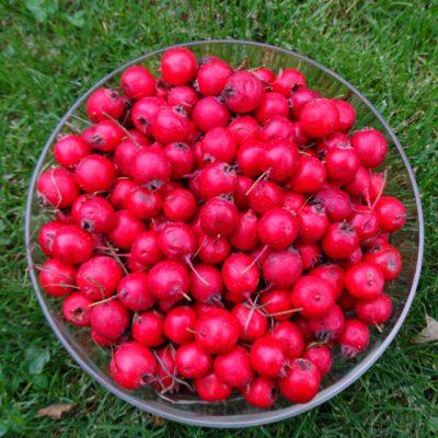 Боярышник крупноплодный 4okt18 www.florapassionis.com